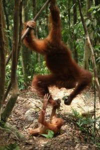 Oranguntánes mamá y bebé en árbol