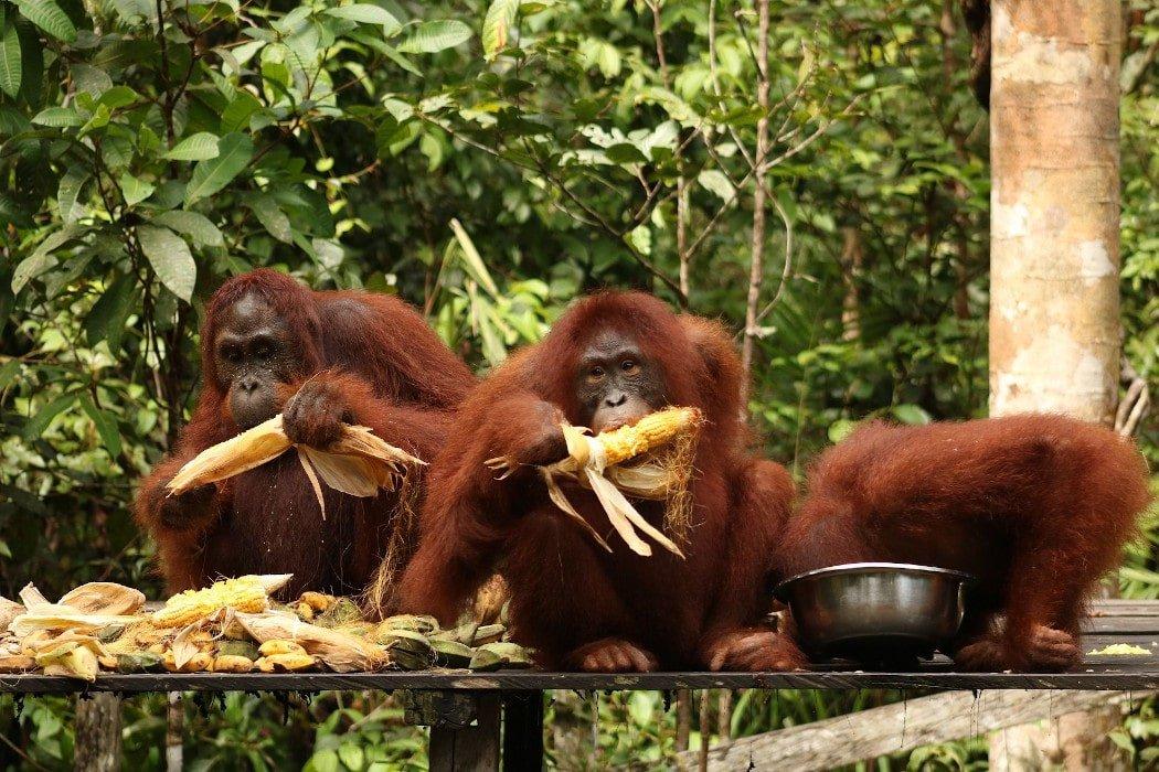 Orangutánes comiéndo