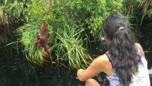 Orangutánes Borneo