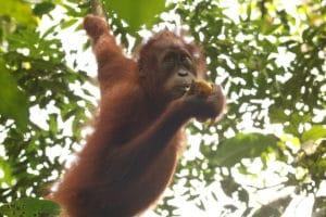 Oranguntán bebe Sumatra