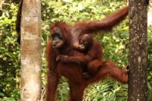Orangutánes mamá y bebé